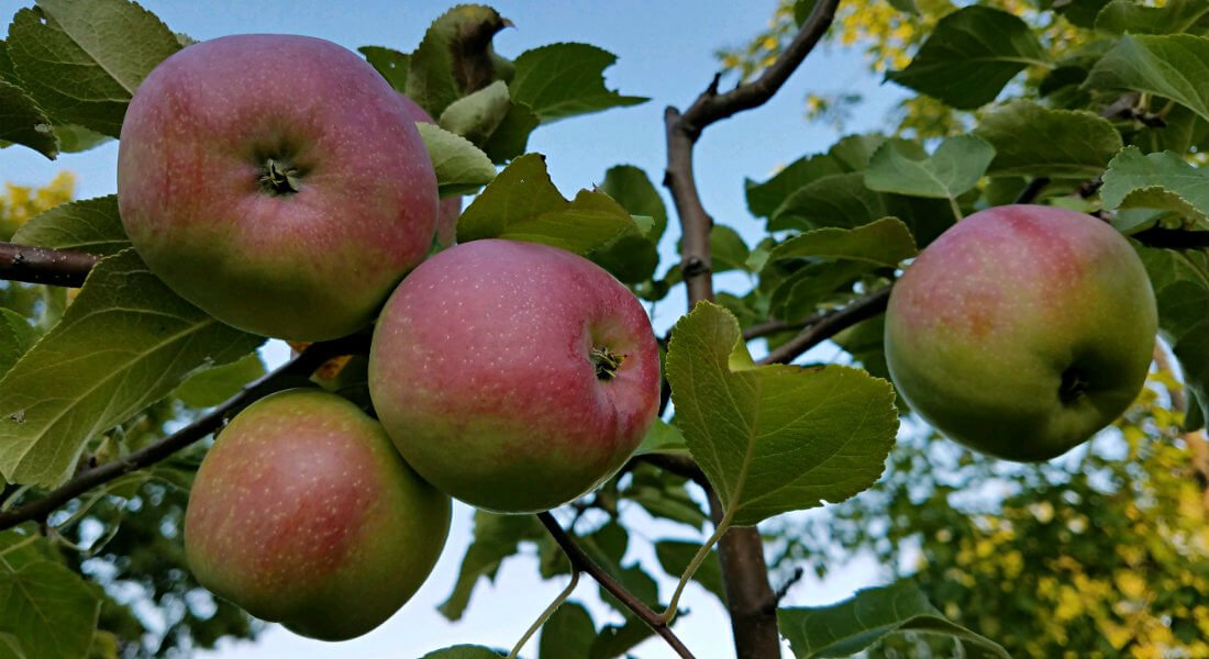 Close up view of apples growing on a tree amidst blue skies
