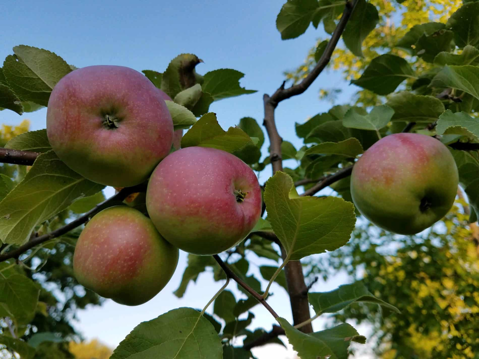 red and green apples on apple tree with blue sky background