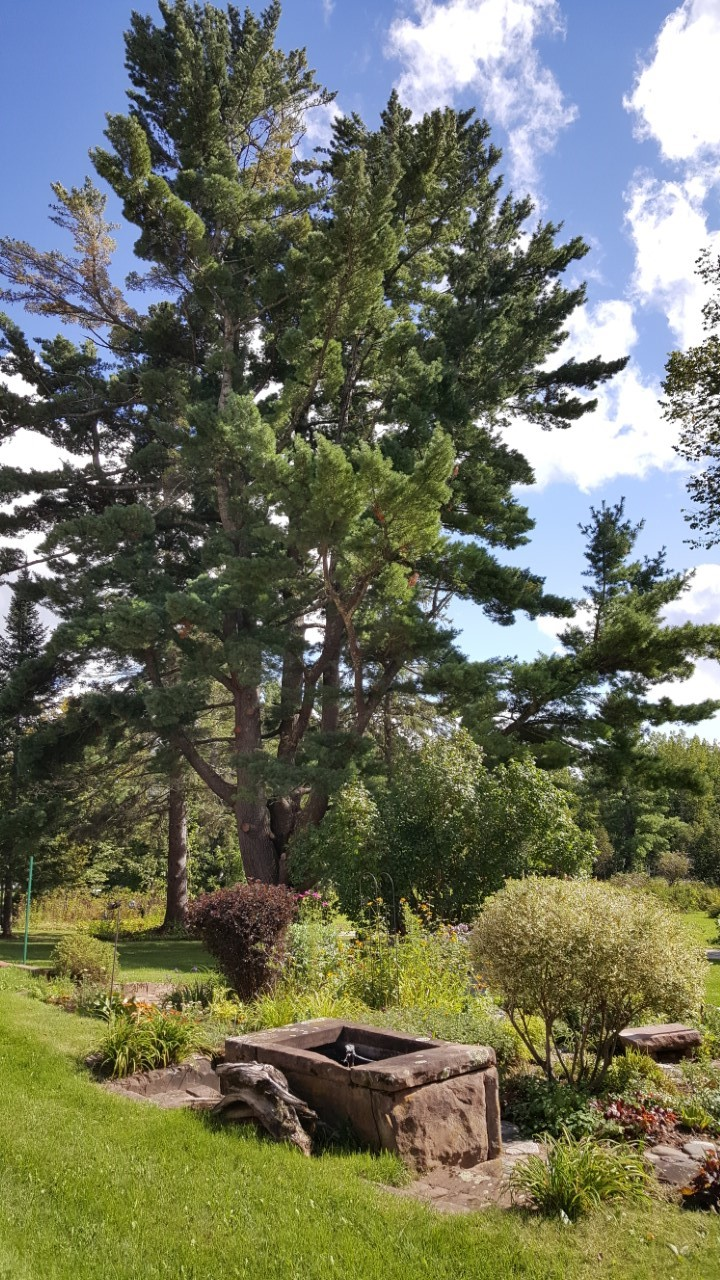 large pine tree, brownstone pond and garden, with blue sky with white clouds in the background